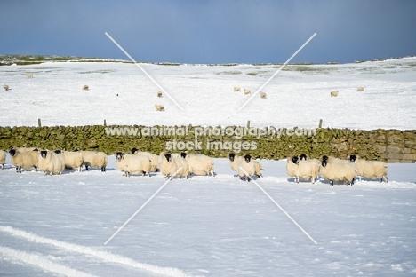 group of Scottish Blackface ewes