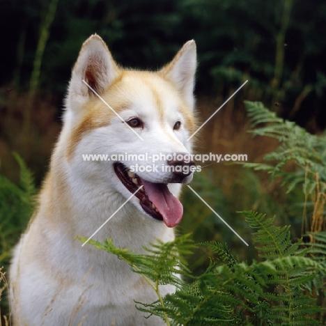 siberian husky, ch forstal's noushka