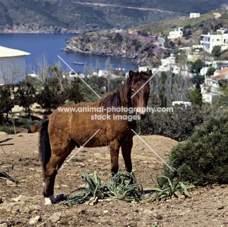 skyros colt on skyros island, greece