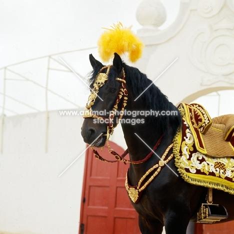 lusitano dressed for portuguese bullfight, caparisoned for the corrida