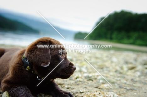 Chocolate Labrador Retriever puppy lying at the beach.