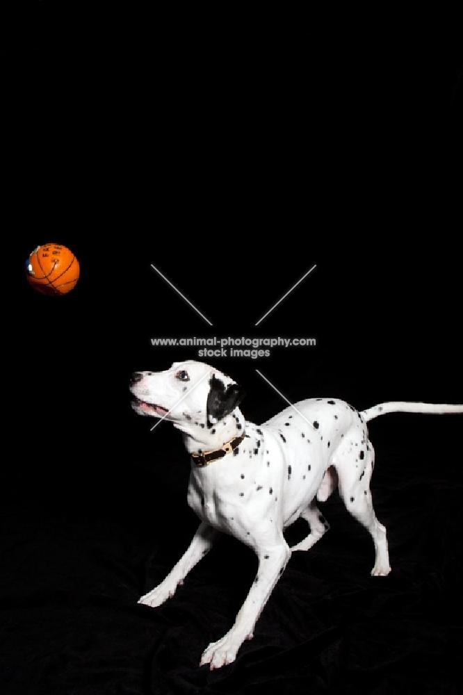 Dalmation watching orange ball