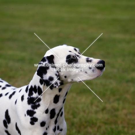ch olbiro organdiecollar, dalmatian head portrait