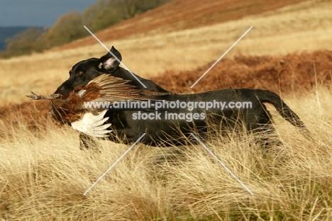 black Labrador retrieving pheasant