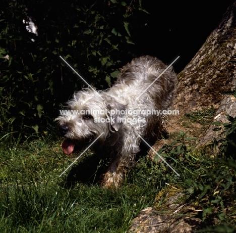 muddy glen of imaal terrier