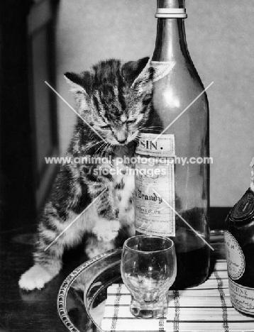 cute tabby kitten leaning against bottle
