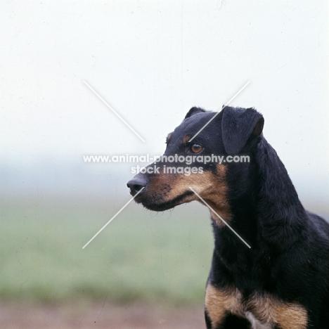 german hunt terrier, ethel vom alderhorst, portrait