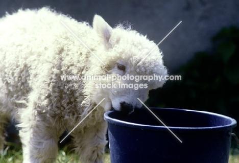 grey face dartmoor lamb nibbling the edge of a bucket