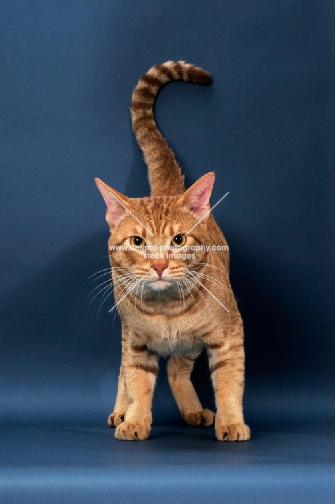 Ocicat looking alert, cinnamon spotted tabby colour