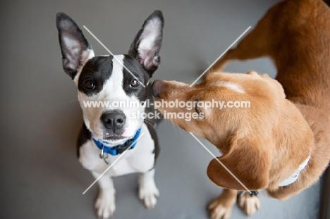 dog nuzzling another dog