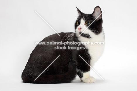 black and white Munchkin