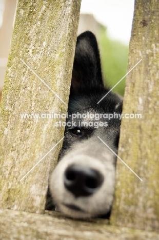 Husky Crossbreed through fence