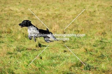 German Wirehaired Pointer (GWP) running in field