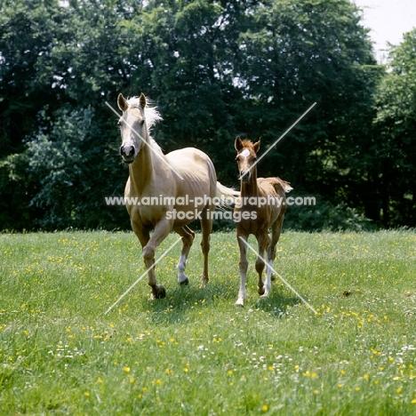 palomino mare and foal trotting towards camera