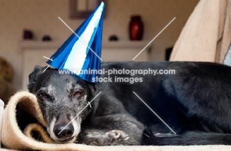 Lurcher at a birthday