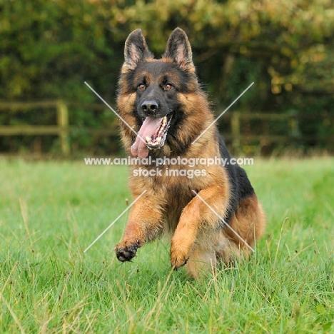 german shepherd dog , alsation, running through a field towards camera