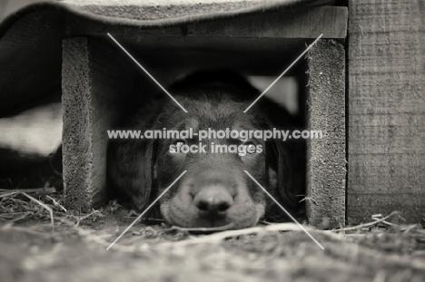 a cute beauceron puppy hiding