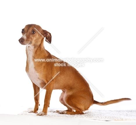 italian greyhound chihuahua - photo #5