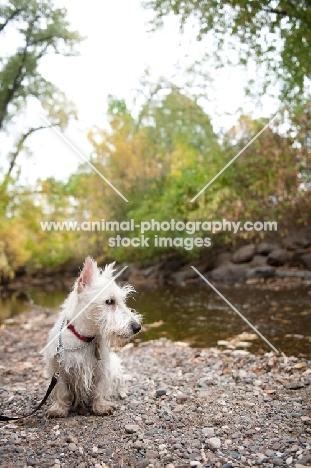 wheaten Scottish Terrier puppy sitting by creek.