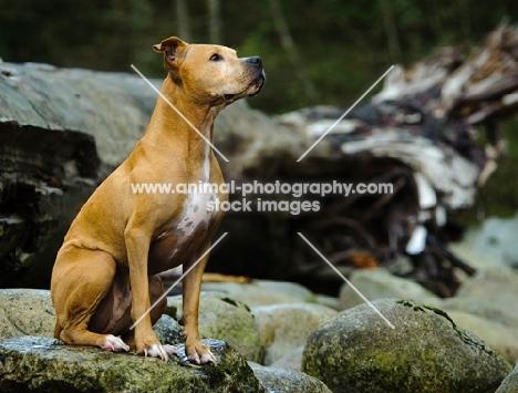 American Pit Bull Terrier sitting on rock