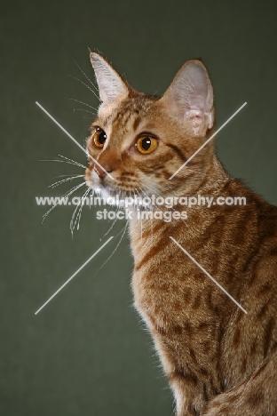Ocicat on green background