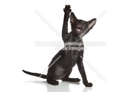 Peterbald kitten playing, one leg up, 9 weeks
