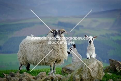 Scottish Blackface ewe & Scotch Mule lambs