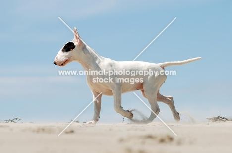 Bull Terrier running in sand