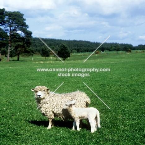 devon longwool ewe with her lamb