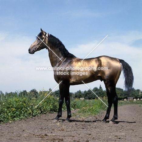 akhal teke horse full body