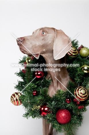 Weimaraner in studio, with Christmas wreath around his neck.