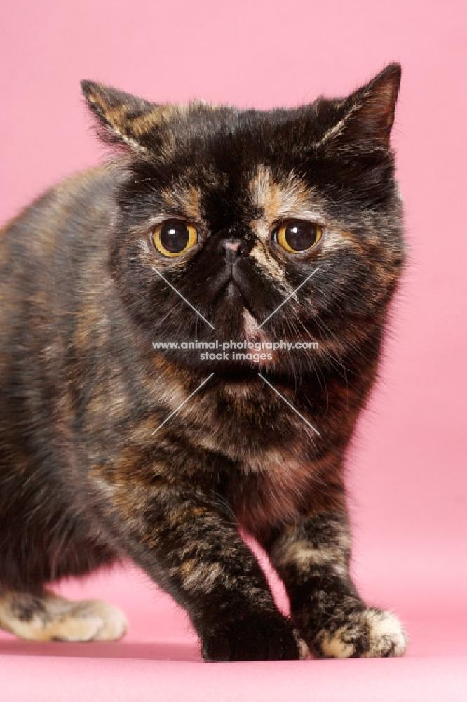 tortoiseshell Exotic Shorthair cat, looking away