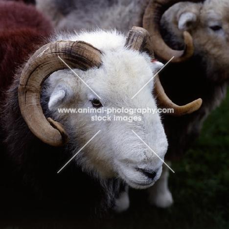 herdwick ram, head study