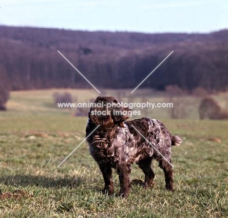 racker von kranichsee  wachtelhund standing on grass on the hillside looking back