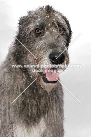Australian Champion Irish Wolfound, portrait