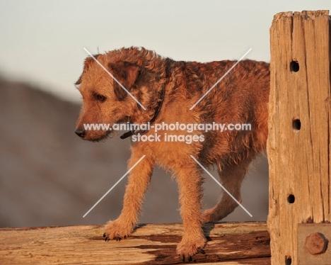 Fell Terrier on fence