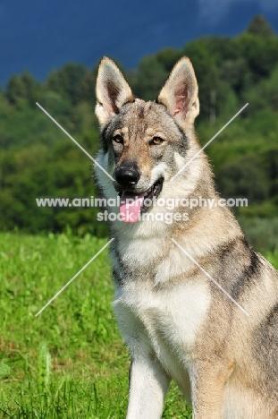 Czechoslovakian wolfdog (aka Ceskoslovensky Vlcak) in field