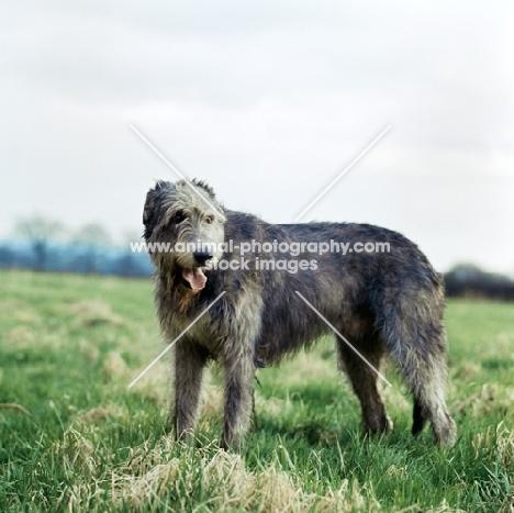 irish wolfhound standing in a field