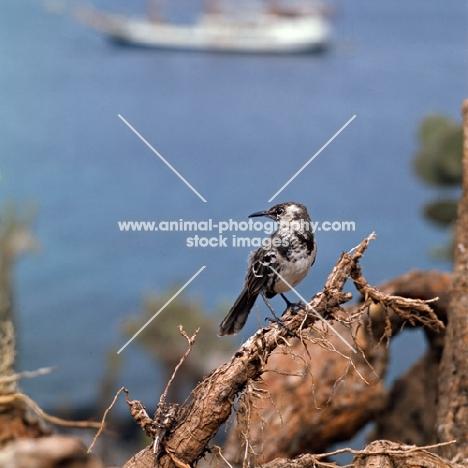 champion island mockingbird  on branch, galapagos islands