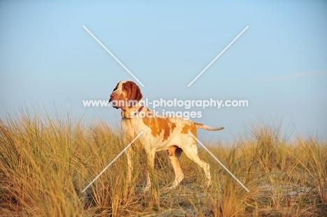Bracco Italiano (Italian Pointing Dog) standing in grass