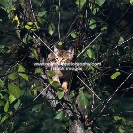 abyssinian kitten in tree, meowing