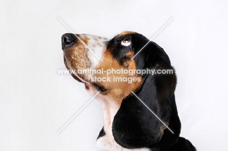 Basset Hound in studio on white background