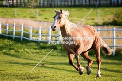 Palomino Quarter horse running