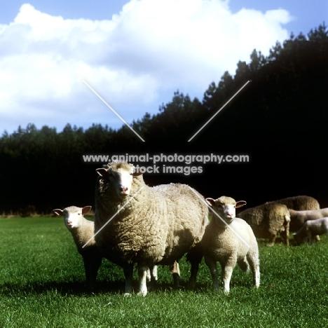 poll dorset ewe with two lambs