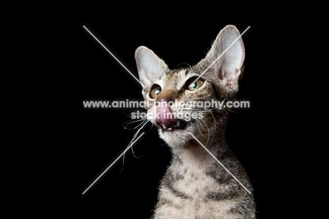 peterbald kitten licking mouth