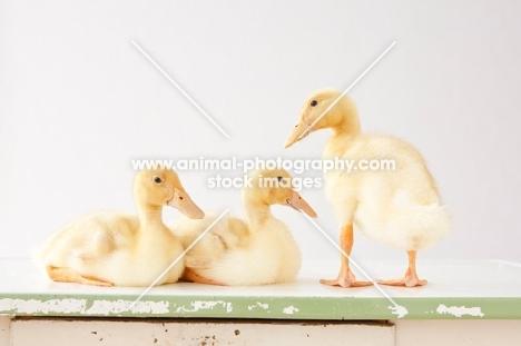three Peking Ducklings (aka Long Island duck)