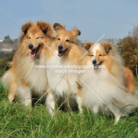 three happy Shetland Sheepdogs