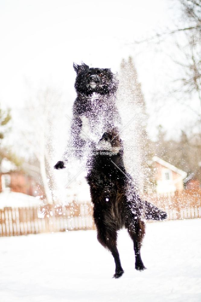 Black dog leaping through snow