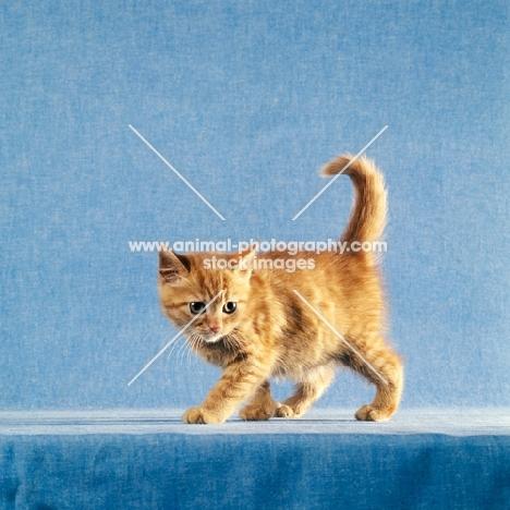 red tabby long hair kitten prowling
