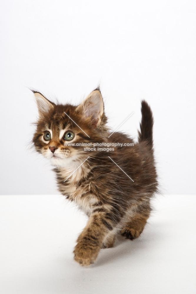 Maine Coon kitten looking up